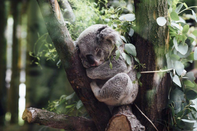 Arbol con koala
